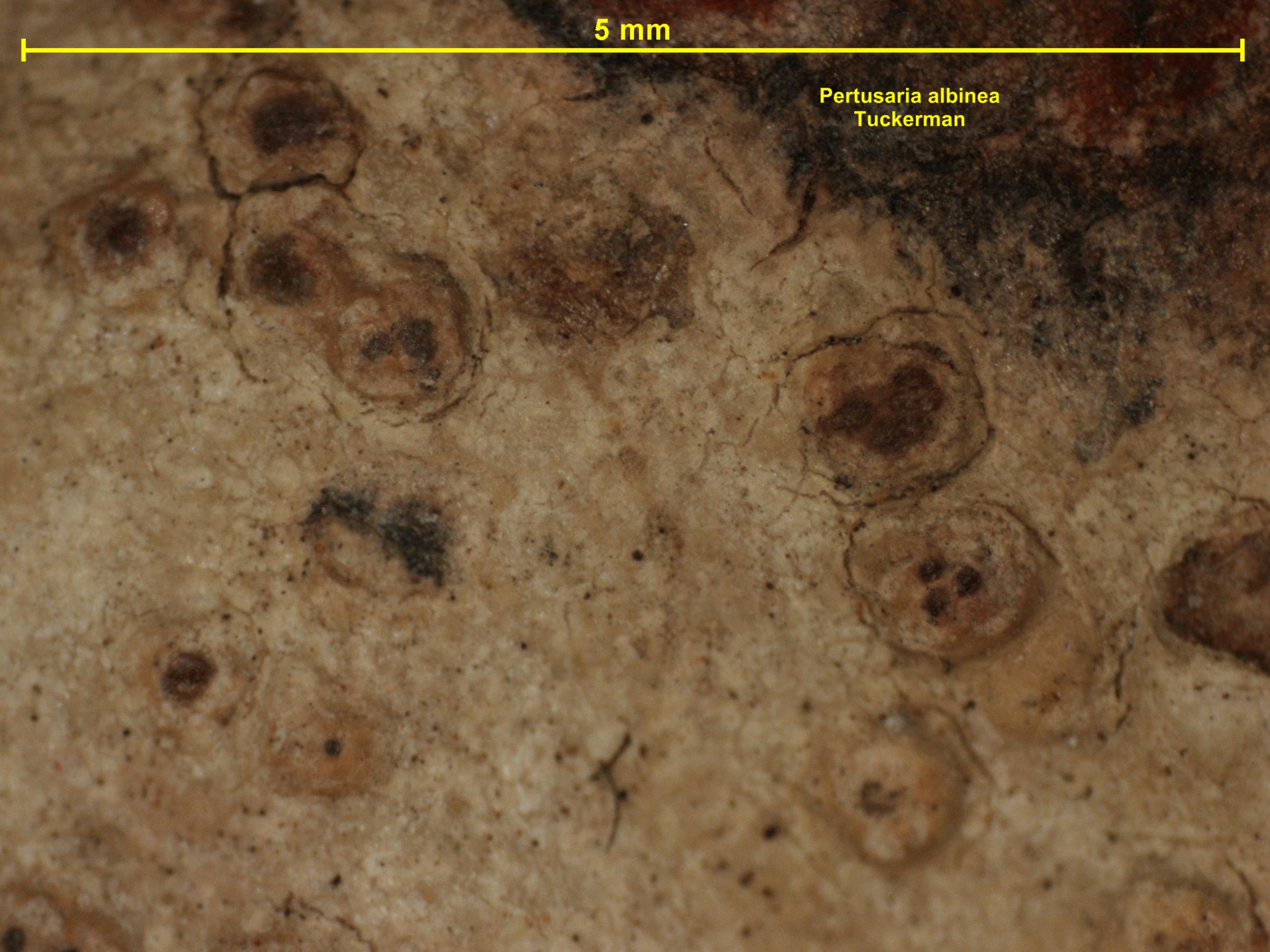 Pertusaria albinea image