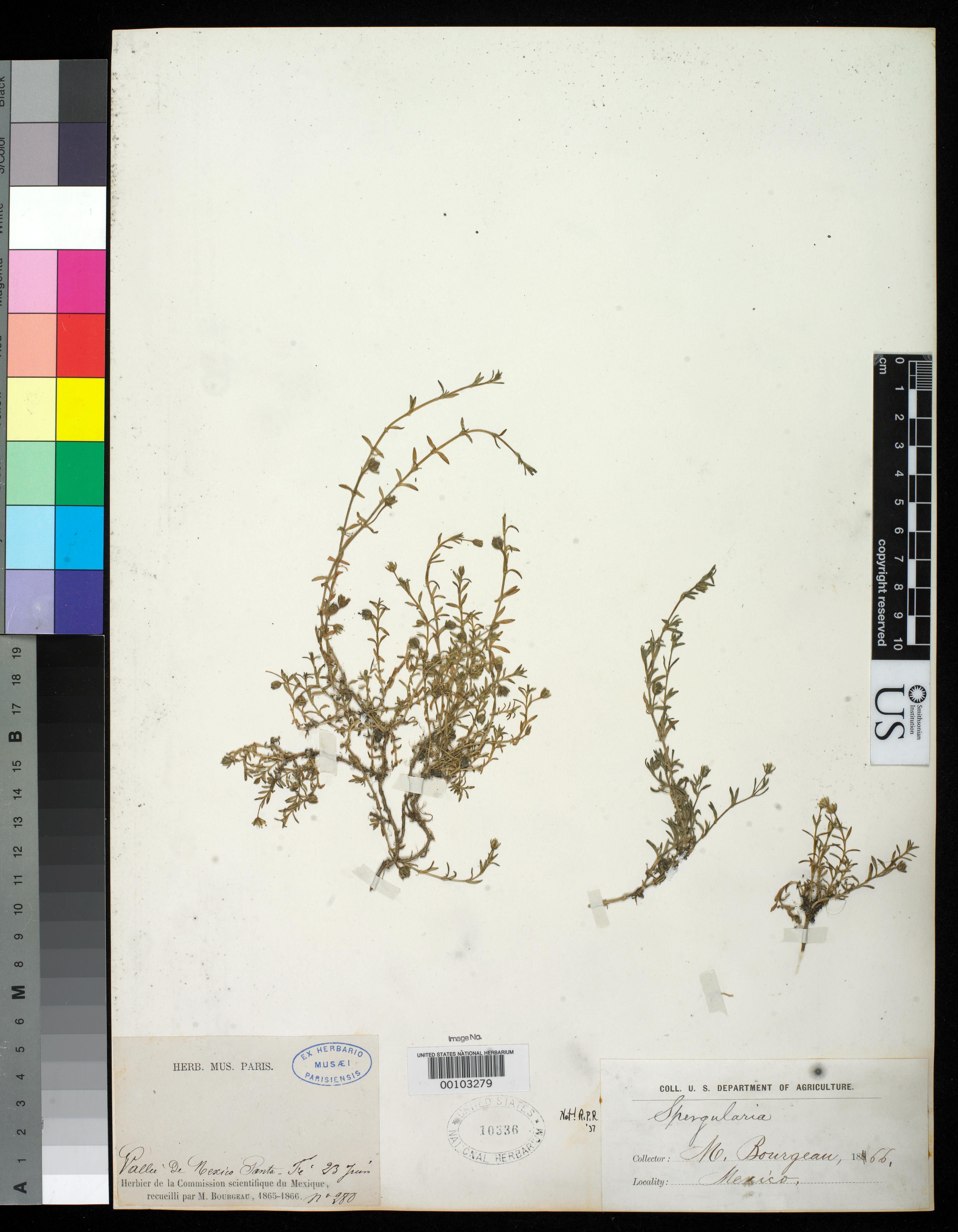 Arenaria bourgaei image