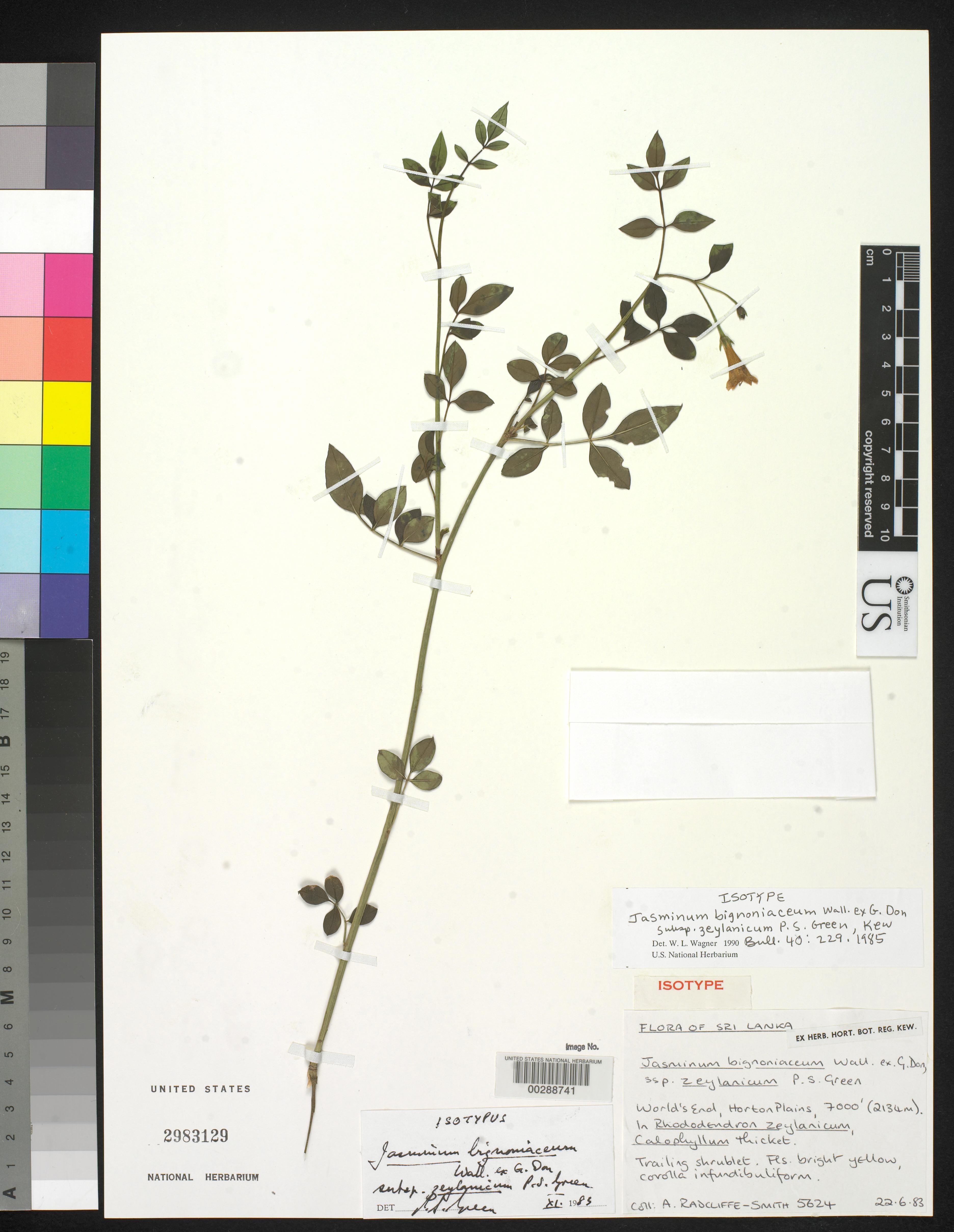 Jasminum bignoniaceum subsp. zeylanicum P.S. Green