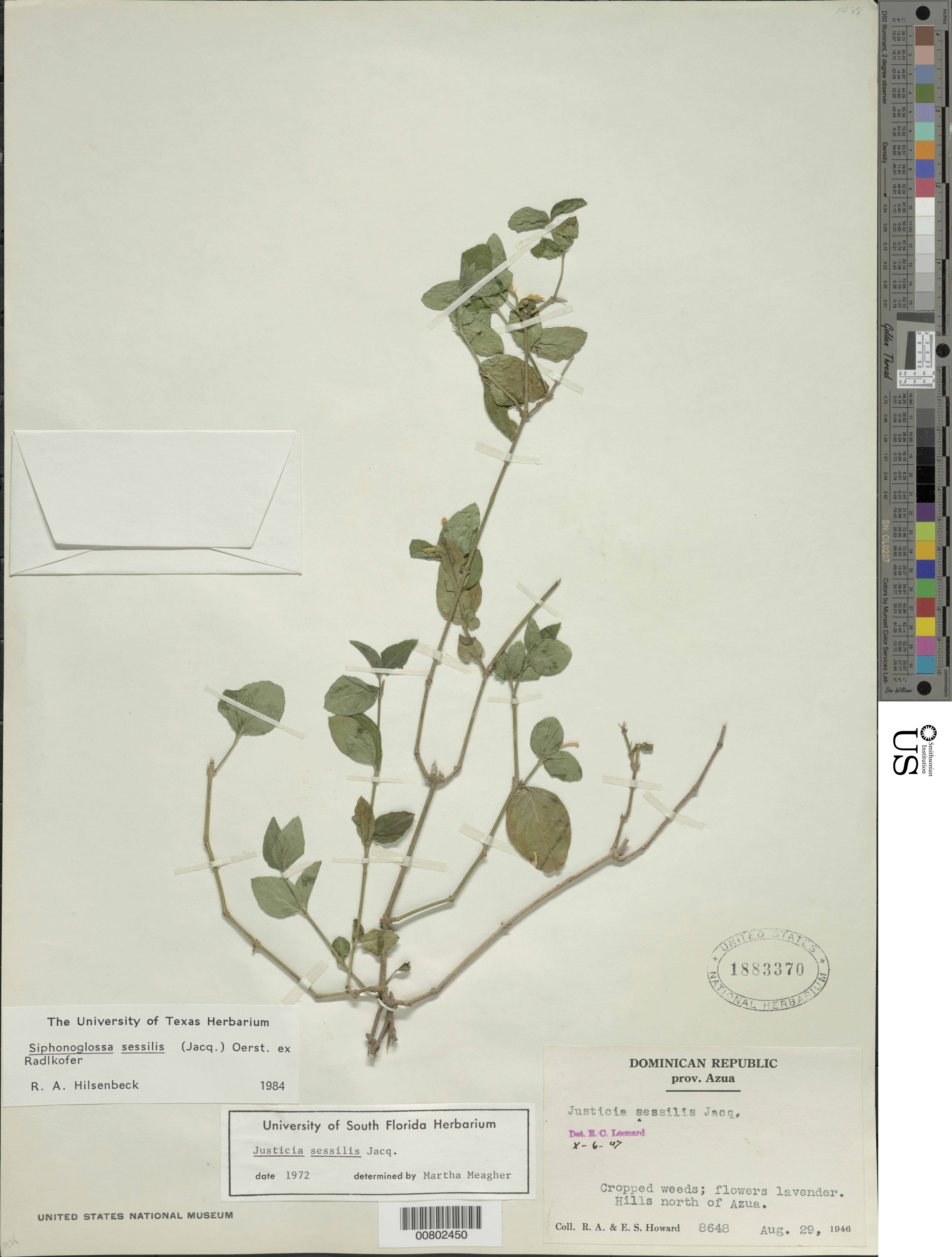 Siphonoglossa sessilis (Jacq.) D.N. Gibson