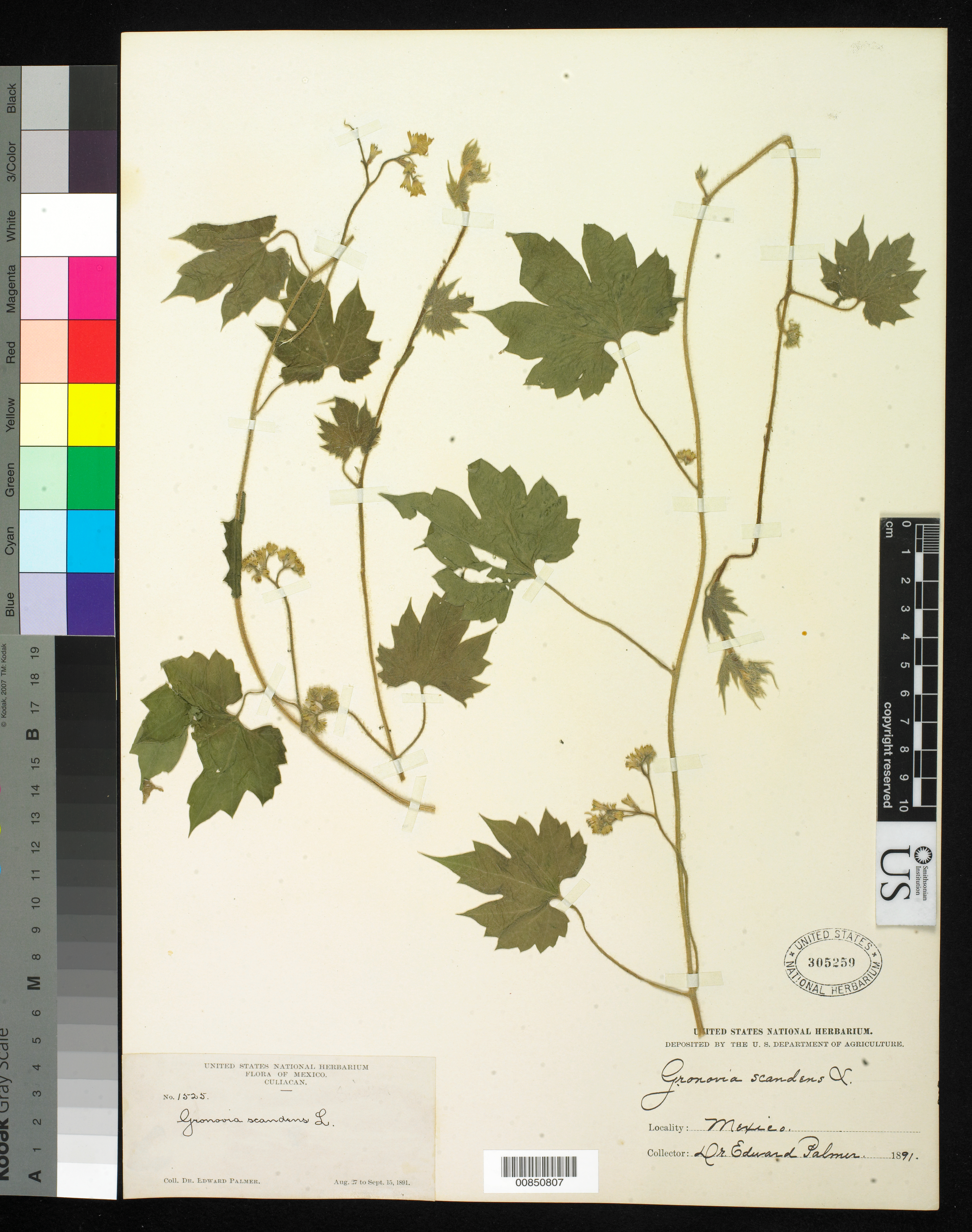 Loasaceae image