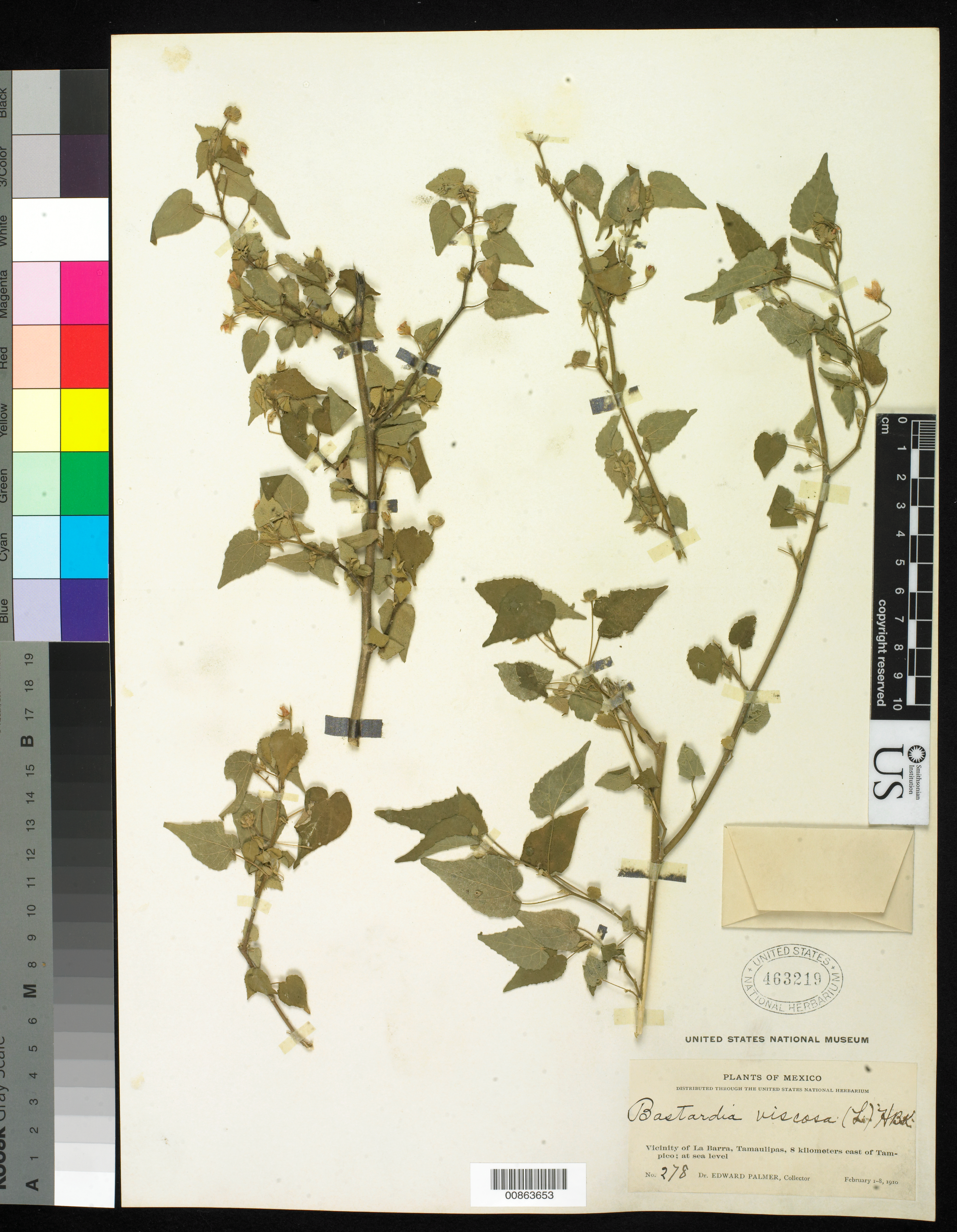 Bastardia viscosa image