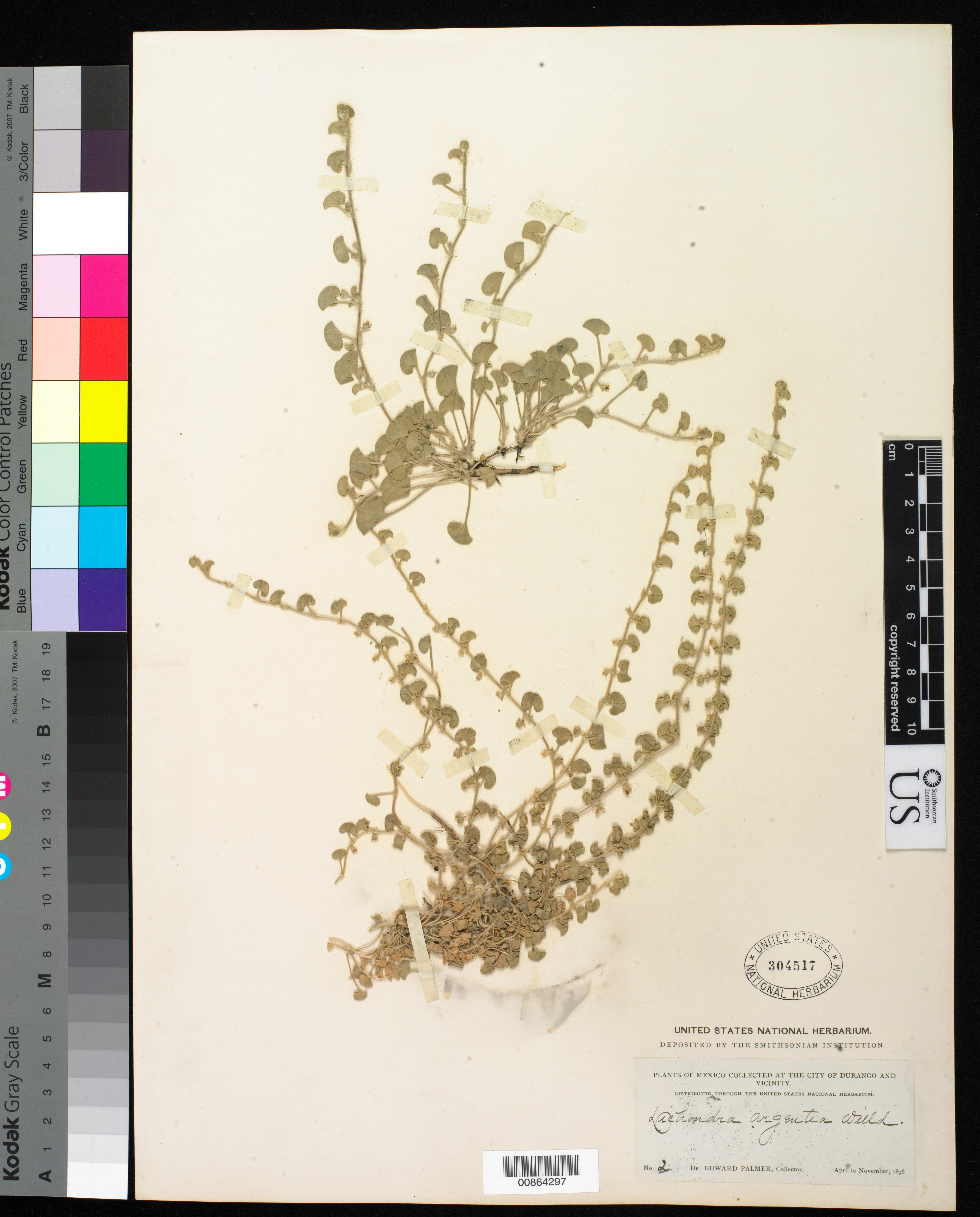 Dichondra microcalyx image