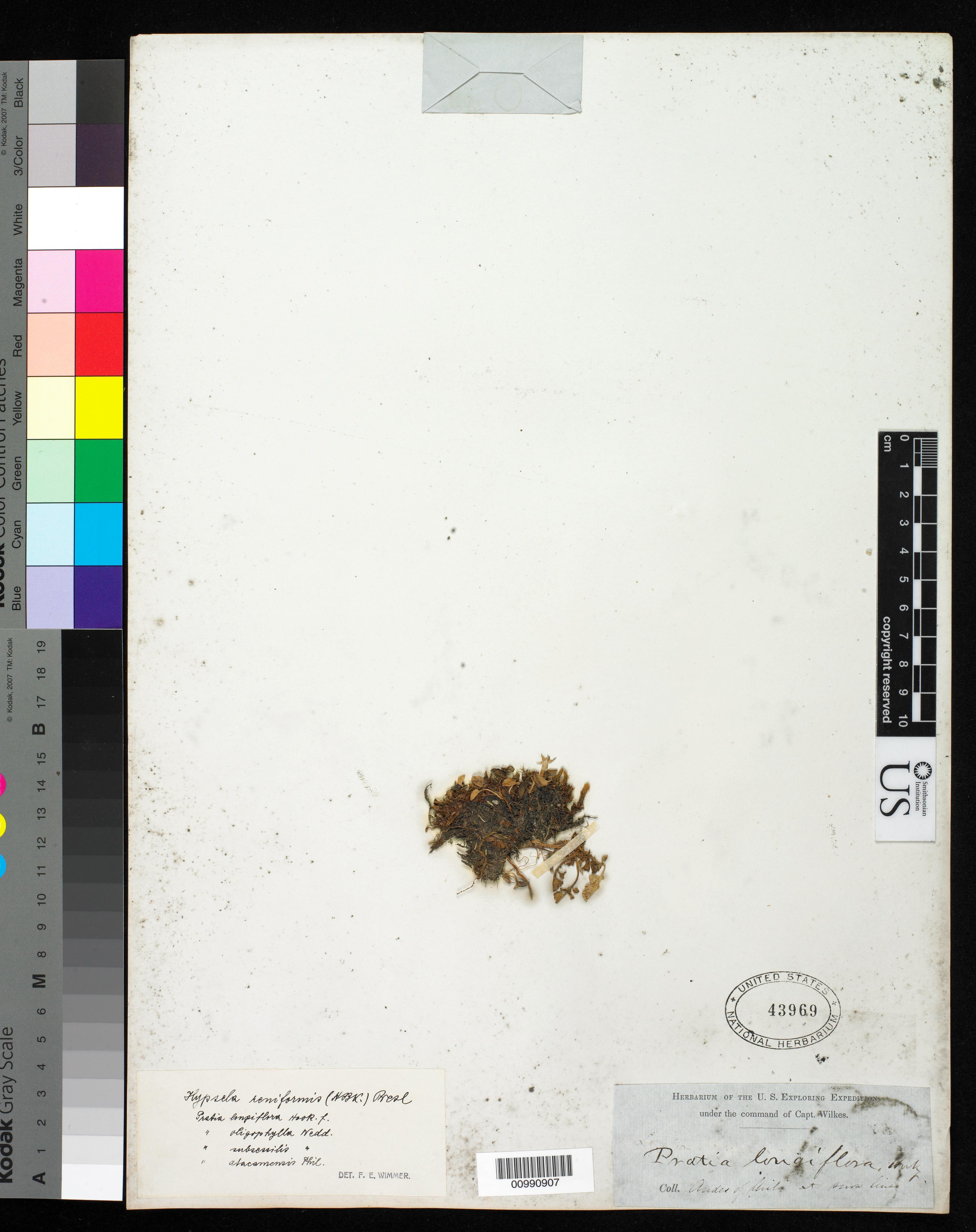 Hypsela reniformis image