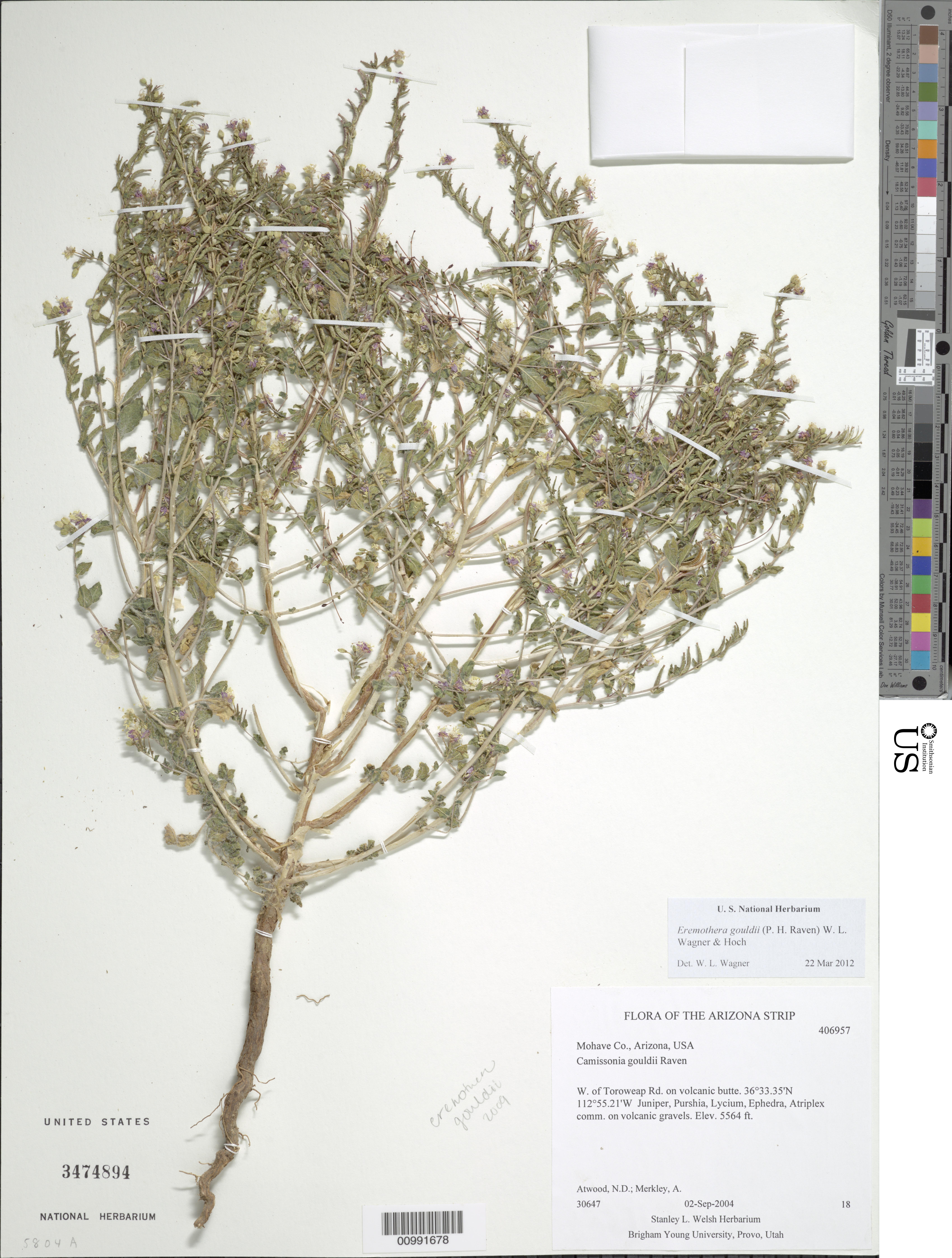 Eremothera gouldii (P.H. Raven) W.L. Wagner & Hoch