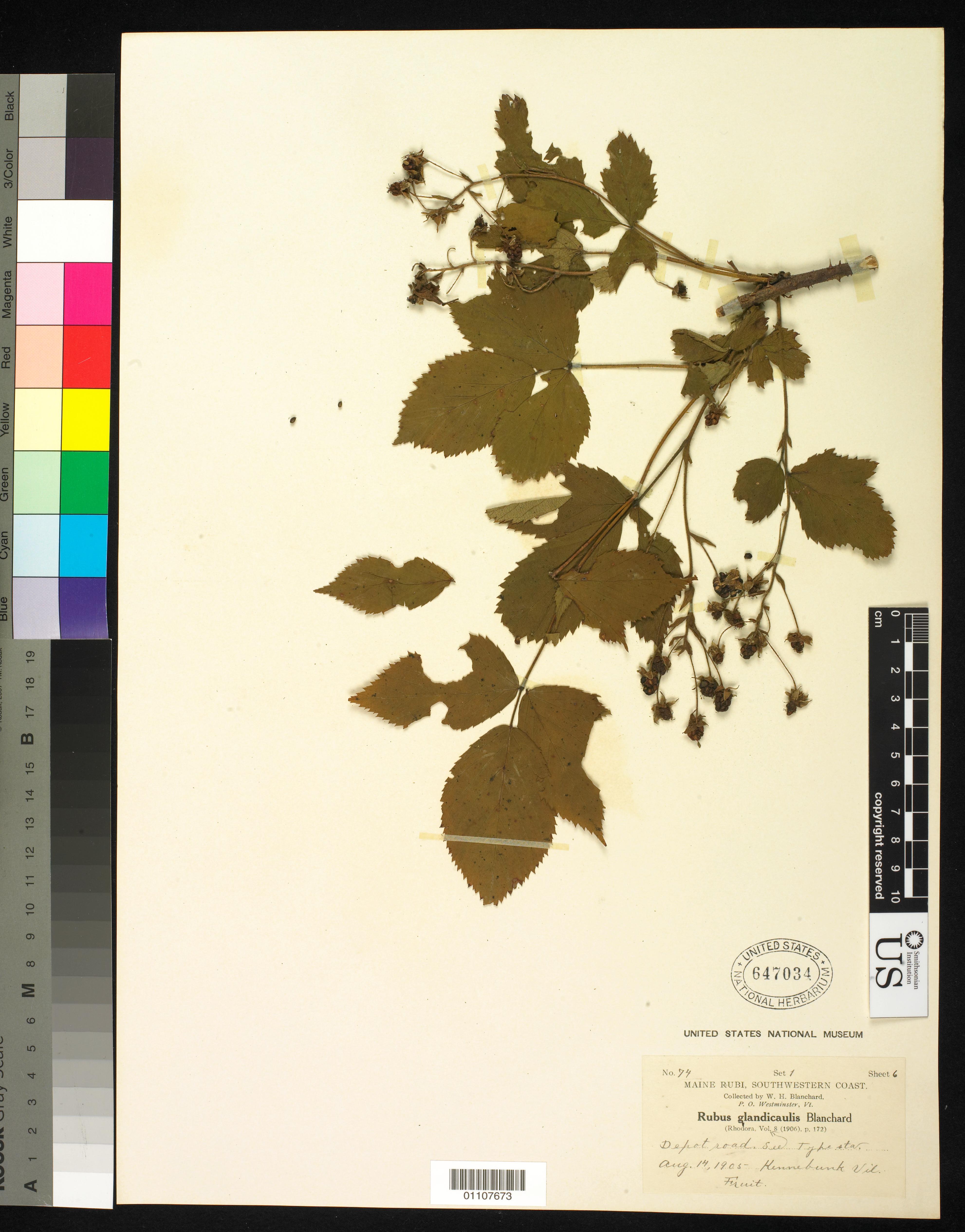Rubus glandicaulis Blanch.