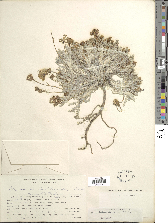 Chaenactis santolinoides Greene