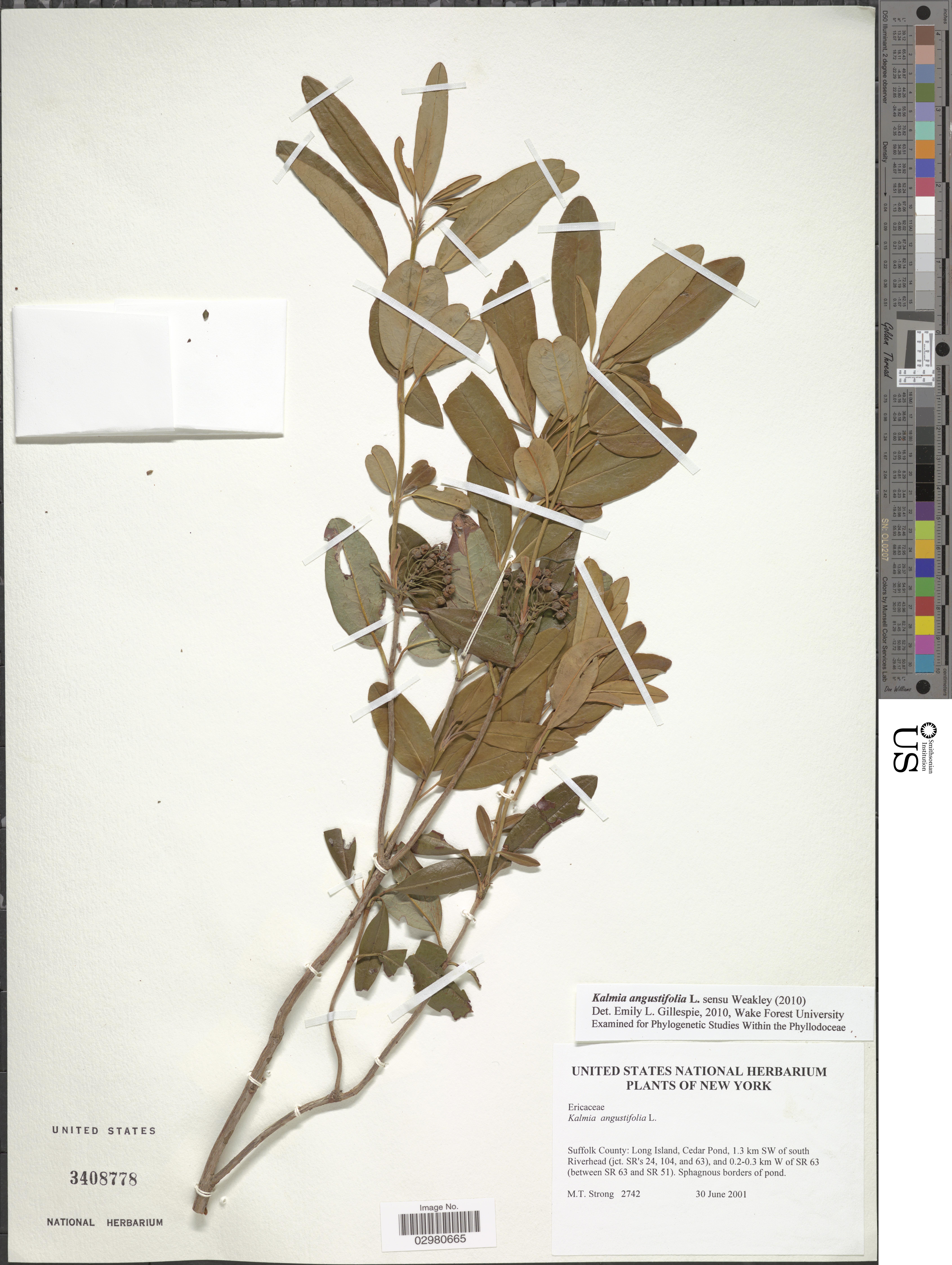 Kalmia angustifolia L.