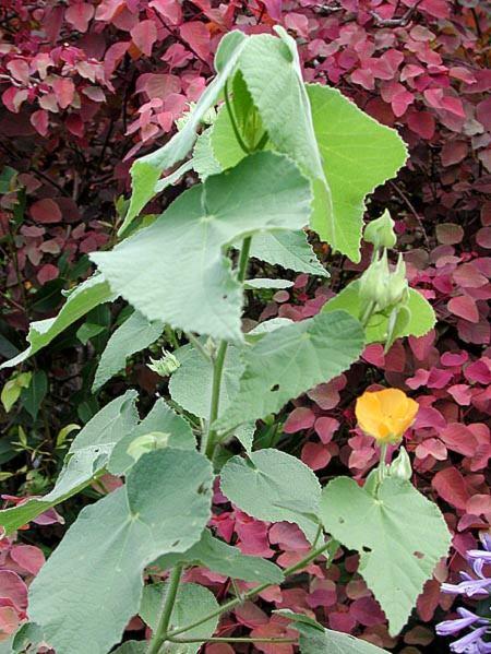 Malvaceae - Abutilon grandifolium (Pukepu)