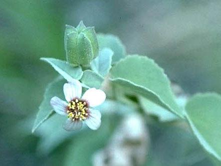 Malvaceae - Abutilon incanum (pelotazo)