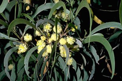 Fabaceae - Acacia koaia (koahoa)