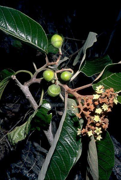 Rhamnaceae - Alphitonia ponderosa (Hawaii kauilatree; Hawai'I kauliatree)