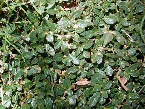 Amaranthaceae - Alternanthera caracasana (washerwoman; Yard Pussley)