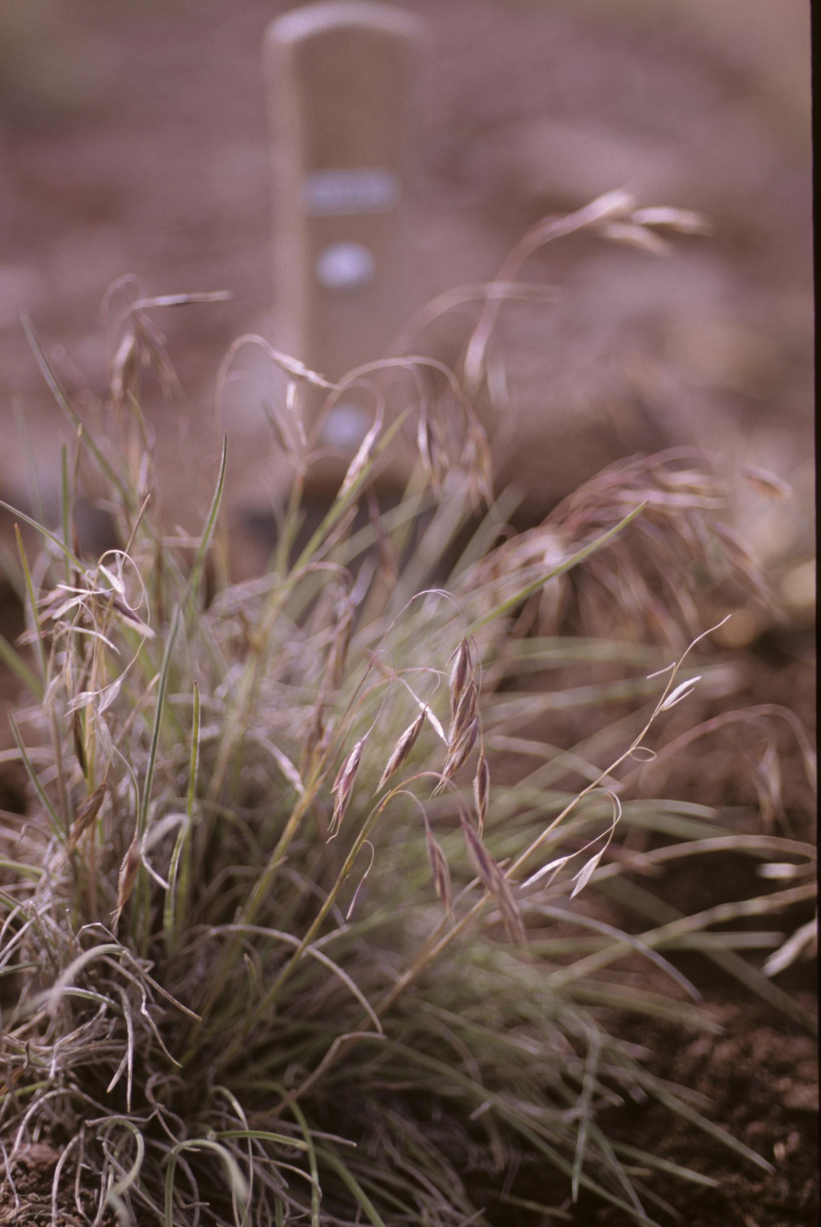 Bromus image