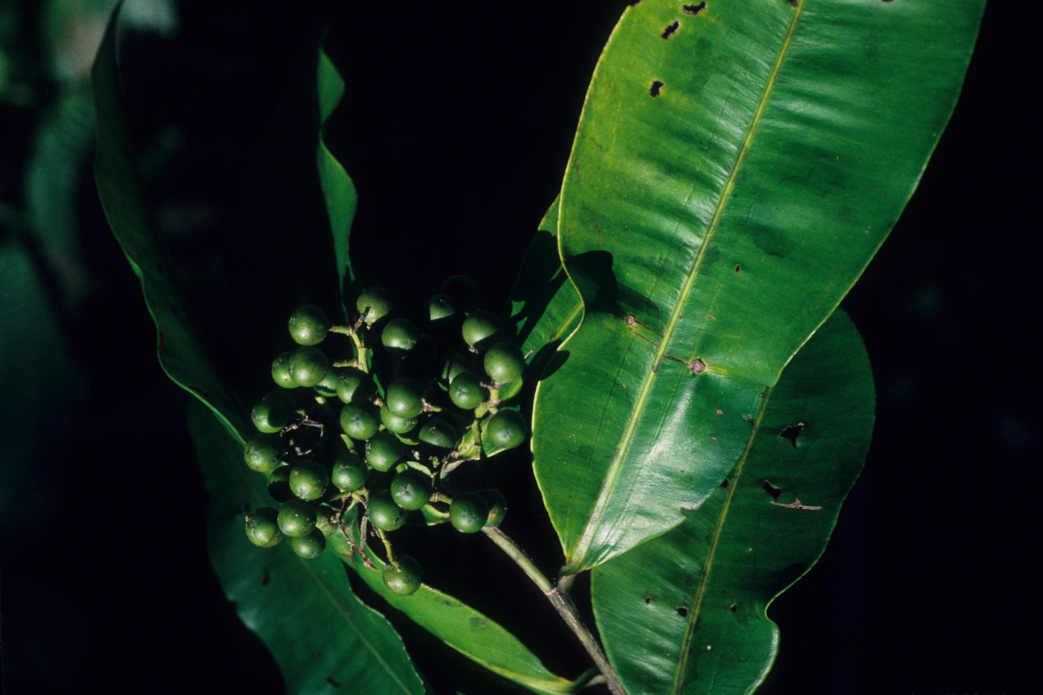 Linaceae image