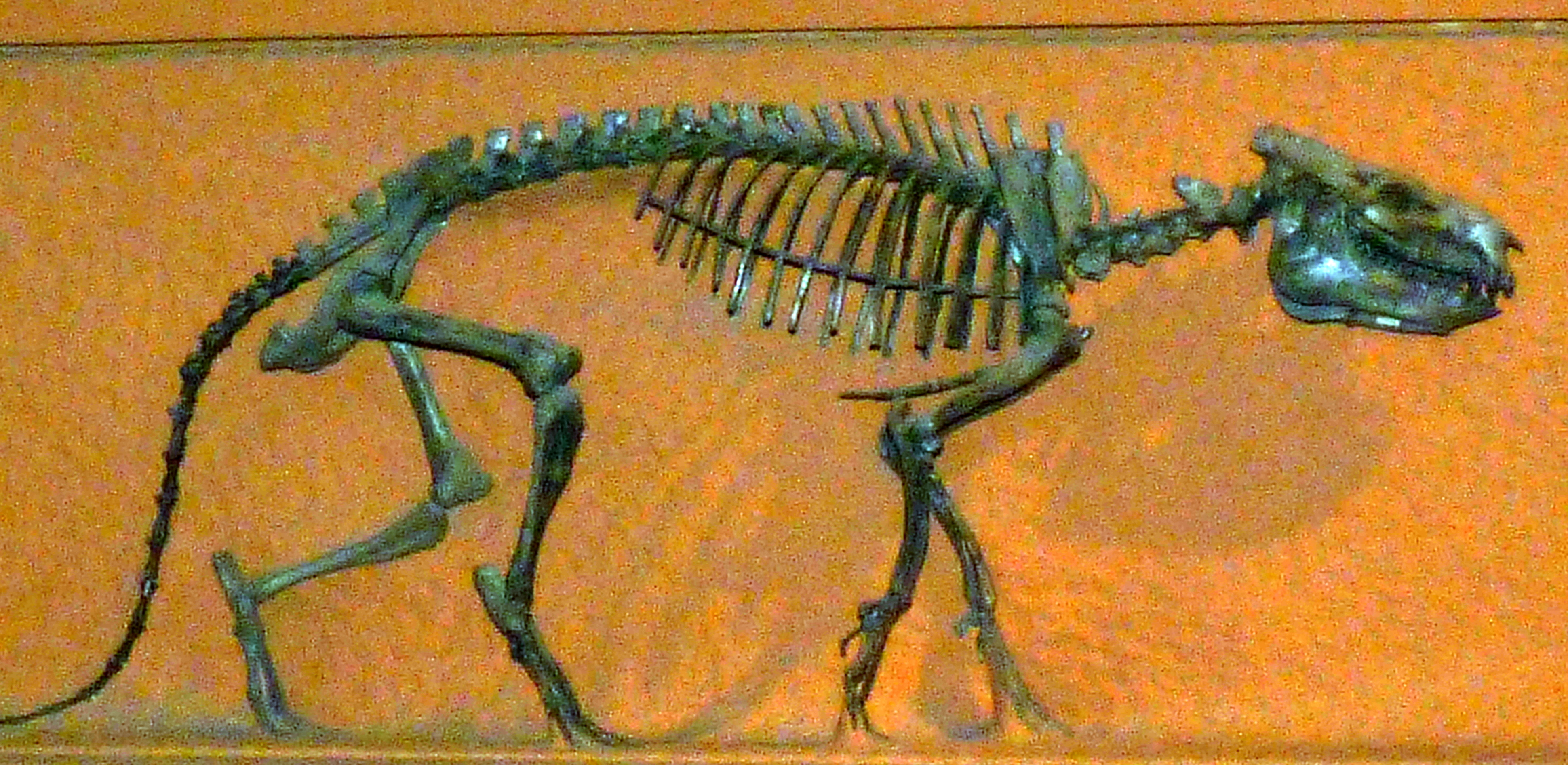 Merycoidodon culbertsoni Leidy, 1848