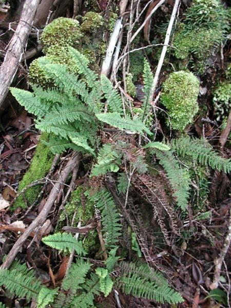 Polypodiaceae - Adenophorus tamariscinus var. tamariscinus