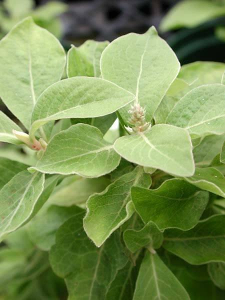 Amaranthaceae - Achyranthes mutica